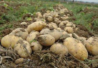 <b>中国与乌克兰相互引进和互换马铃薯品种和种质资源</b>