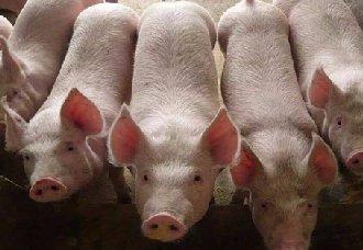 <b>我国农业农村部调整跨省调运种猪产地检疫有关要求</b>