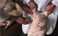 如何保证免疫效果?仔猪打疫苗时的注意事项