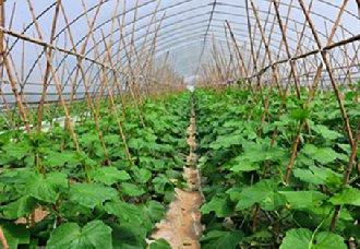 安徽萧县推动40万亩蔬菜产业发展 助力菜农脱贫攻坚