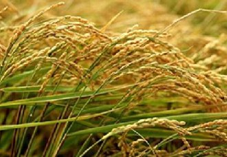 安徽实施科学防控技术 降低夏季水稻病虫害危害损失率