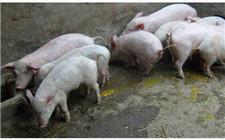 仔猪腹泻怎么办?消化不良引起的腹泻防治方法