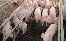 如何提高仔猪的出生重量?提高仔猪出生重量的方法
