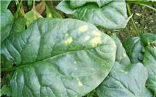 菠菜出现白色病斑怎么办?菠菜霜霉病的防治方法