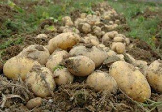 齐齐哈尔克山第四届马铃薯种薯拉开序幕