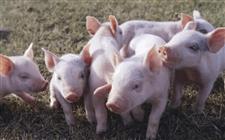 如何增加仔猪的食量?这些饲喂方法要掌握