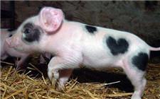 仔猪出生后假死怎么办?仔猪假死的急救方法