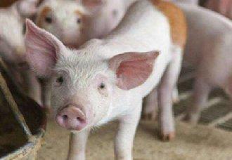 <b>青海将提升生猪生产管理水平 确保养猪产业发展</b>