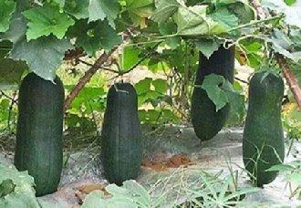 冬瓜生长需要哪些条件?冬瓜生长的五大条件