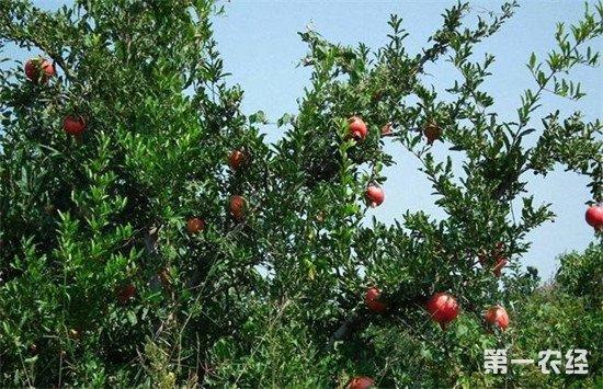 石榴树怎么施肥才能高产?石榴树的施肥时间和方法
