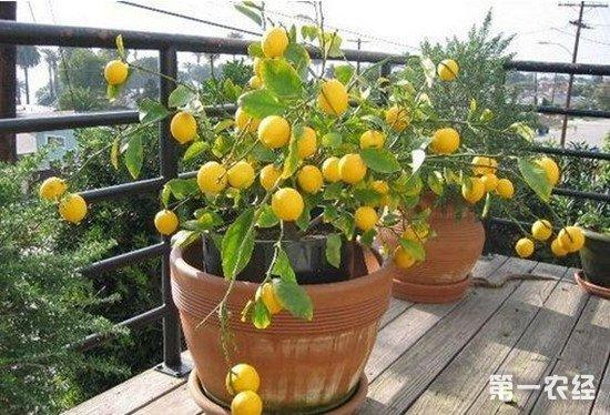 如何用花盆种柠檬?柠檬盆栽种植方法