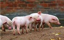 怎么诱使仔猪吃饲料?仔猪诱食方法