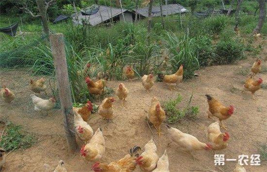 散养鸡的常见疾病有哪些?如何进行防治