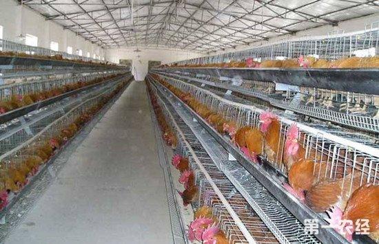 怎么给鸡群快速用药?鸡群快速给药的方法介绍