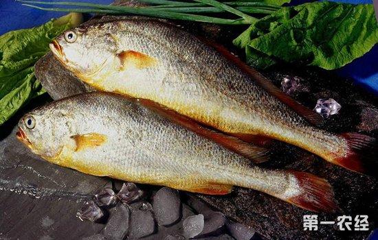 大黄鱼价格全规格上涨 优质鱼突破16元关口