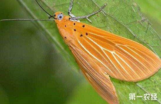 黄腹灯蛾的生活习性和防治方法