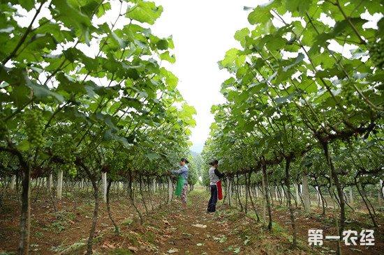 葡萄基肥怎么施?葡萄基肥的施用注意事项