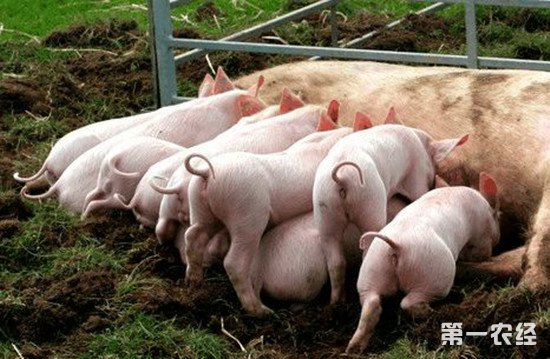 养殖仔猪时如何减少仔猪死亡率?这几个措施要做好