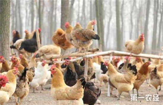 夏季高温多雨如何做好养鸡管理工作
