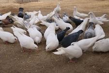 肉鸽要进行无公害养殖,有哪些技术要求呢?无公害肉鸽养殖技术!