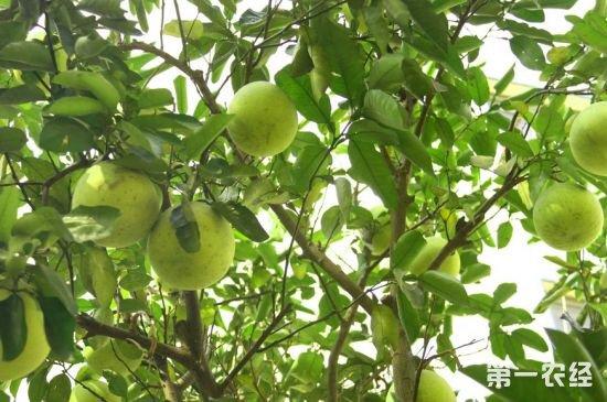 柚子常见的病虫害有哪些?柚子病虫害防治方法