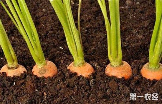 胡萝卜怎么施肥能高产?胡萝卜的施肥注意事项