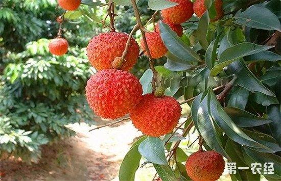 荔枝怎么施肥才能高产?荔枝的施肥注意事项