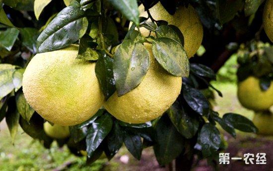 江西上饶:果业精准扶贫,村民种植马家柚人均增收5700元