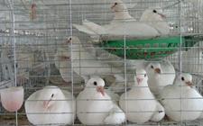 肉鸽突然暴瘦是怎么回事?肉鸽消瘦病原因和防治方法