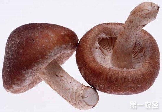 香菇常见的虫害有哪些?栽培香菇时要注意防范这些害虫