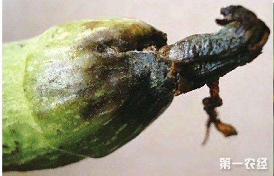 丝瓜水渍状腐烂是什么病?丝瓜病害疫病的防治方法
