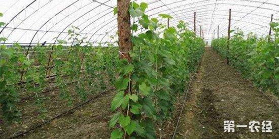 葡萄如何施肥才能高产?葡萄的施肥方法