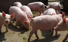 """广东""""养猪任务"""":最低出栏是硬指标 任务量每年100万头"""