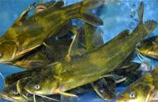 黄颡鱼出现白肝、腹血有哪些诱因?怎么预防呢?