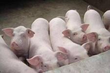 <b>老挝丰沙里爆发非洲猪瘟致千头生猪死亡</b>