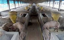 夏季高温高湿猪易生病,养猪户怎么才能减少损失呢?