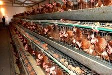 蛋鸡养殖户注意啦,这5种兽药是禁用的哦