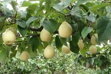 俄罗斯实施临时进口禁令 不再进口中国的梨果和核果