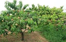 假化肥致3000棵桃树绝产 果农损失十几万找谁赔?