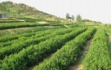 山东省茶园面积达到55万亩 茶叶生产机械化势在必行