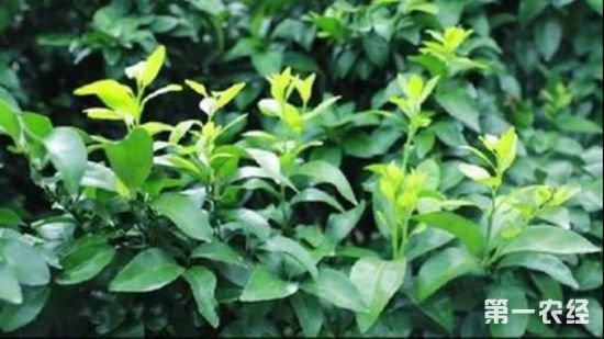 33.柑橘届新贵?探索发现天隆脐橙(蜂蜜橙)八大种植优势