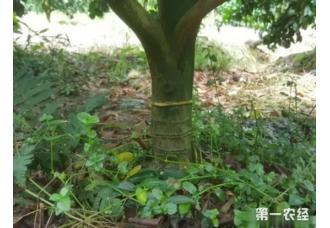 柑橘届新贵?探索发现天隆脐橙(蜂蜜橙)八大种植优势