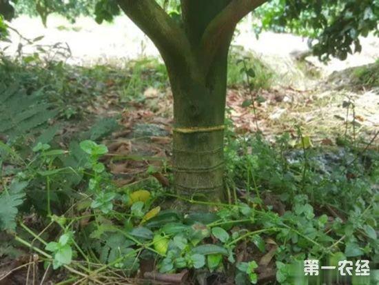 柑橘届新贵?探索发现天隆脐橙(蜂蜜橙)八大种植优势11