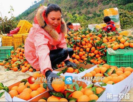 55.柑橘届新贵?探索发现天隆脐橙(蜂蜜橙)八大种植优势