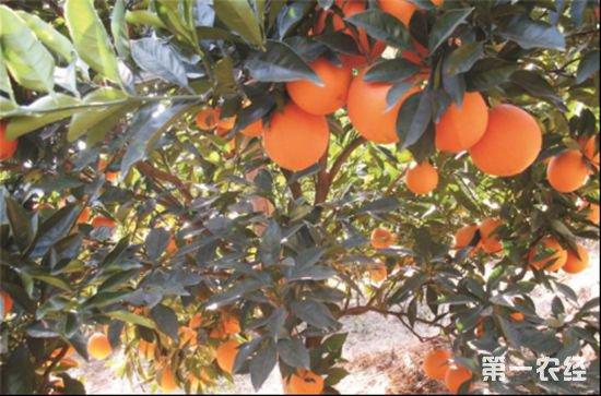 66.柑橘届新贵?探索发现天隆脐橙(蜂蜜橙)八大种植优势