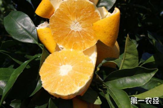 77.柑橘届新贵?探索发现天隆脐橙(蜂蜜橙)八大种植优势