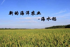 """袁隆平团队试种千余亩""""海水稻"""" 希望海水稻技术有新突破"""