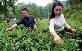 <b>重庆黔江:石会镇因地制宜发展茶产业 助推乡村振兴促进农户增收</b>