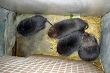 竹鼠长期不怀孕是什么原因造成的?怎么解决?