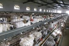 笼养青年乌鸡,怎么保证它们均匀采食呢?